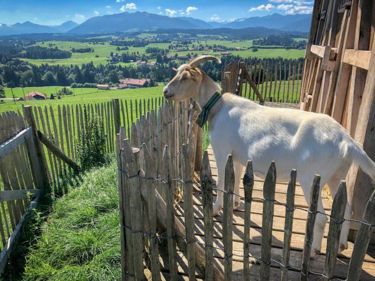 goat-5474611_1920